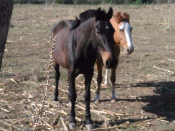 Recuperaron dos caballos robados en el valle del conlara - El valle de los caballos ...